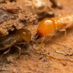 subterran-termite-02